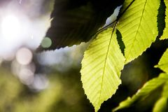 有太阳的绿色叶子 免版税图库摄影