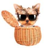 有太阳镜的愉快的yorkie玩具在篮子 库存图片