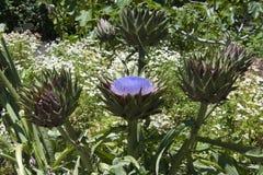 有头状花序和果子的朝鲜蓟植物在庭院里 库存照片