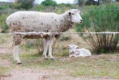 有她的婴孩的绵羊母亲 库存图片