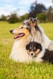 有她的小狗的大牧羊犬母亲 免版税图库摄影