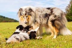 有她的小狗的大牧羊犬母亲 库存图片
