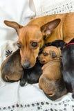 有她的小狗的狗妈妈 免版税库存照片