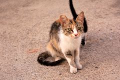有她的小猫的白棉布Tabico离群猫妈咪 库存照片
