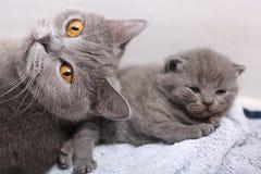有她的小猫的英国Shorthair母亲 库存图片