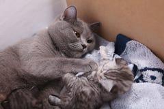 有她的小猫的英国Shorthair母亲 免版税图库摄影