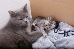 有她的小猫的英国Shorthair母亲 库存照片