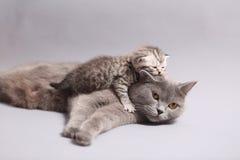 有她的小猫的英国Shorthair母亲 免版税库存图片