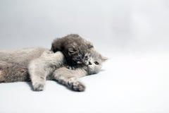 有她的小猫的英国Shorthair母亲 图库摄影