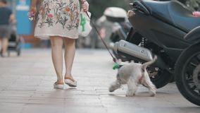 有好奇西部高地白色的狗与所有者的城市步行 股票视频