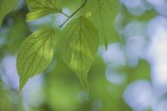 有嫩绿色叶子的一棵植物 库存图片
