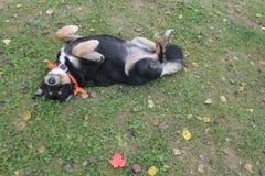 有嬉戏的猎犬的红槭叶子 库存图片
