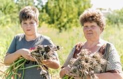 有孙子的祖母在庭院里收获了大蒜收获 免版税库存照片