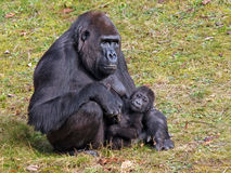 有孩子的一个大猩猩母亲 免版税图库摄影