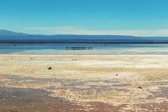 有安地斯山的火鸟的Chaxa盐水湖,位于阿塔卡马盐沼,智利的中心的火鸟天堂 免版税库存图片