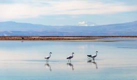 有安地斯山的火鸟的Chaxa盐水湖,位于阿塔卡马盐沼,智利的中心的火鸟天堂 库存图片