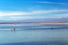 有安地斯山的火鸟的Chaxa盐水湖,位于阿塔卡马盐沼,智利的中心的火鸟天堂 免版税库存照片