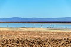 有安地斯山的火鸟的Chaxa盐水湖,位于阿塔卡马盐沼,智利的中心的火鸟天堂 免版税图库摄影
