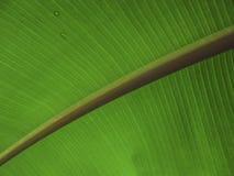 有对角词根的香蕉叶子 免版税库存图片