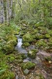 有小河的绿色森林在Muniellos生物圈储备,阿斯图里亚斯 库存图片