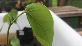有小滴的小植物在叶子 免版税图库摄影