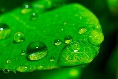 有小滴的绿色湿叶子 免版税库存图片