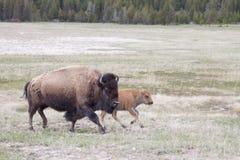 有小牛的北美野牛妈妈 免版税图库摄影