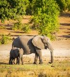 有小牛的大象父母 免版税库存图片