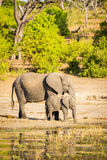 有小牛的大象父母 库存照片