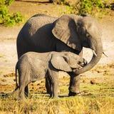 有小牛的大象父母 库存图片