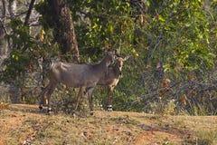 有小牛的, Bandhavgarh老虎储备,中央邦,印度Neelgai女性 免版税库存照片