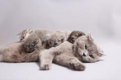 有小猫的英国Shorthair母亲 库存照片