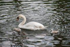 有小的逗人喜爱的灰色小鸡的白天鹅父母 免版税库存照片