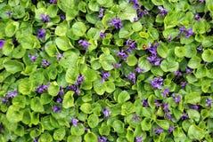 有小紫罗兰色花的一棵植物 库存照片