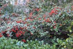 有小红色花的布什 库存图片