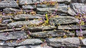 有小花的石墙通过它发芽了 库存图片