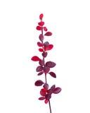 有小蘖属thunbergii红色秋叶的小枝杈  库存照片