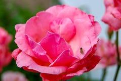 有小蜂的桃红色罗斯 库存照片