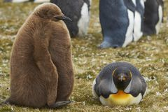 有小鸡的企鹅国王在福克兰群岛 免版税库存照片