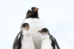 有小鸡的企鹅母亲- gentoo企鹅 免版税图库摄影