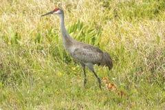 有小鸡的在沼泽,奥兰多沼泽地Sandhill起重机停放 库存照片
