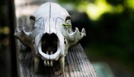 有尺蠖的动物头骨 库存照片