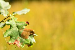 有居住对此的蚂蚁的一片橡木叶子 库存图片