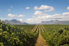 有山和云彩的斑斑绿色葡萄园 免版税图库摄影
