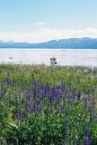 有山和花的Tahoe湖内华达 免版税库存照片