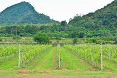 有山的葡萄园 免版税图库摄影