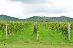有山的葡萄园 免版税库存照片