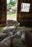 有山羊的谷仓 库存图片
