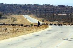 有山羊的附近的塞拉莱,阿曼被掩没的流浪的妇女 免版税库存图片