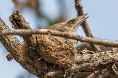 有巢的共同的木伯劳 免版税库存照片
